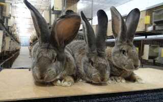 Кролик бельгийский великан описание породы