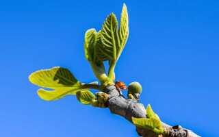 Как размножить инжир черенками осенью