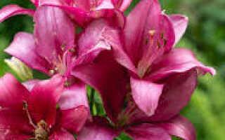 Сообщение о цветке лилия