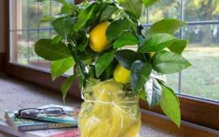 Как реанимировать комнатный лимон