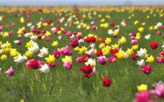Где растут тюльпаны в степи