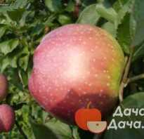 Яблоня алва описание фото отзывы