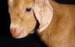 Рубец у козы где находится фото