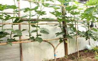 Почему не плодоносит инжир в саду