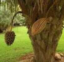 Род тропических пальм 7 букв