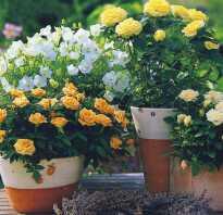 Розы на балконе уход