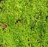 Как выглядит мох сфагнум фото