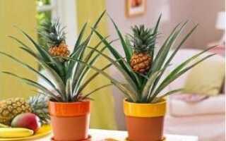 Сколько растет ананас в домашних условиях