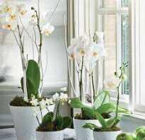 Куда ставить орхидеи дома