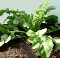 Руккола на окне выращивание
