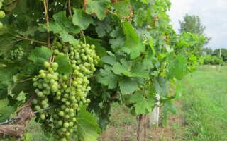 Как правильно сажать виноград осенью черенками видео