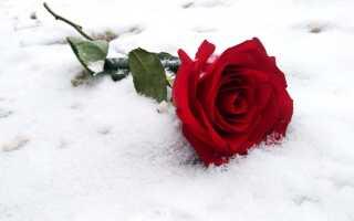 Температура для роз на улице