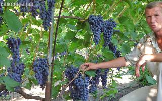 Купить саженцы винограда у натальи пузенко