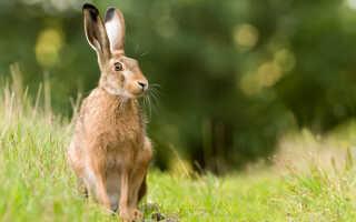 Как выглядит заяц русак