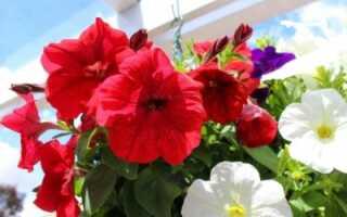Цветы похожие на петунии но мелкие