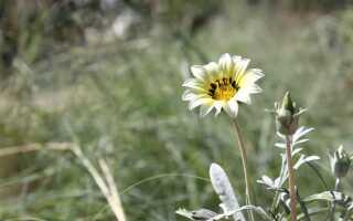 Газания цветок фото уход в саду