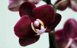 Как правильно обрезать корни у орхидеи