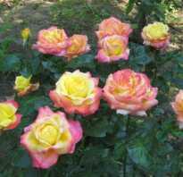 Роза пульман ориент экспресс энциклопедия роз