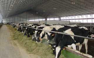 Стойлово пастбищное содержание коров