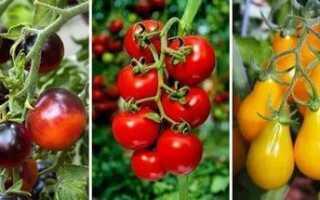 Лучшие сорта салатных томатов для теплиц