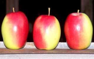 Яблоки синап крымский фото
