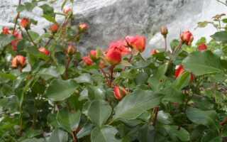Розы не выгорающие на солнце
