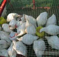 Чем кормить кур на даче летом