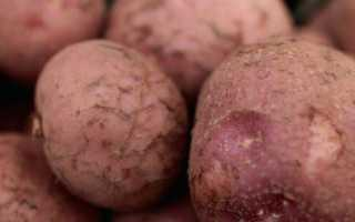 Сорт картофеля американка фото