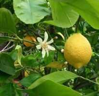 На лимоне появились коричневые пятна