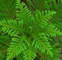 Южное вечнозеленое растение семейства лавровых