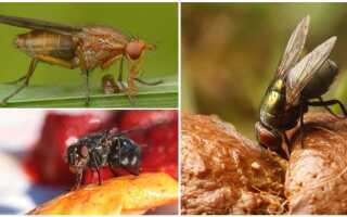 Какими растениями питаются мухи
