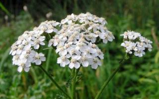 Растение тысячелистник фото и описание