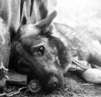 Чем травят собак догхантеры кроме изониазида