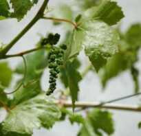 Подготовка винограда к зиме на урале видео
