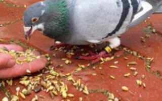 Едят ли голуби пшено