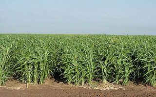 Суданка однолетнее или многолетнее растение