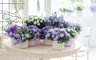 Комнатное растение цветет колокольчиками