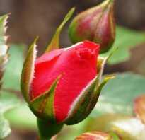 Лучшие плетистые розы для сибири