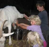 Сколько раз надо доить козу в день