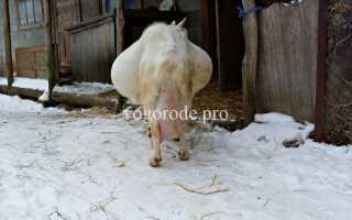 Как определить окот у козы