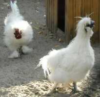 Китайская шелковая курица описание породы