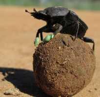 Навозный жук катает шарики