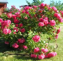 Почему не цветут плетистые розы что делать