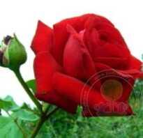 Питомник роз грандесса отзывы