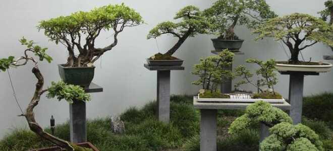 Декоративное карликовое дерево похожее на настоящее