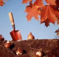 Полив тюльпанов при посадке осенью