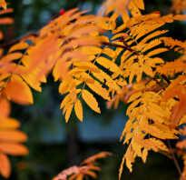 Рябиновый лист осенью картинка