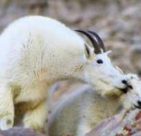 Сколько времени коза в охоте