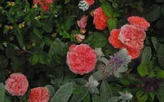 Роза лоран каброль энциклопедия роз