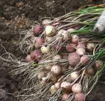 Посев чеснока семенами под зиму